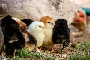 selective focus photography of chicken chicks