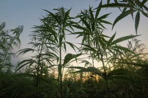 An Overview on the State of Legalization of Medicinal and Industrial Hemp in Africa