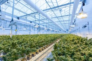 Legalisation of Cannabis and the Future of Agriculture in Africa